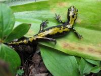 salamander1_Mark_Thompson