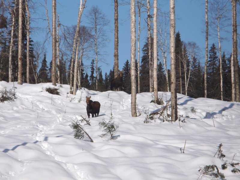 Moose_enjoying_the_easier_access_on_the_harvested_blocks.