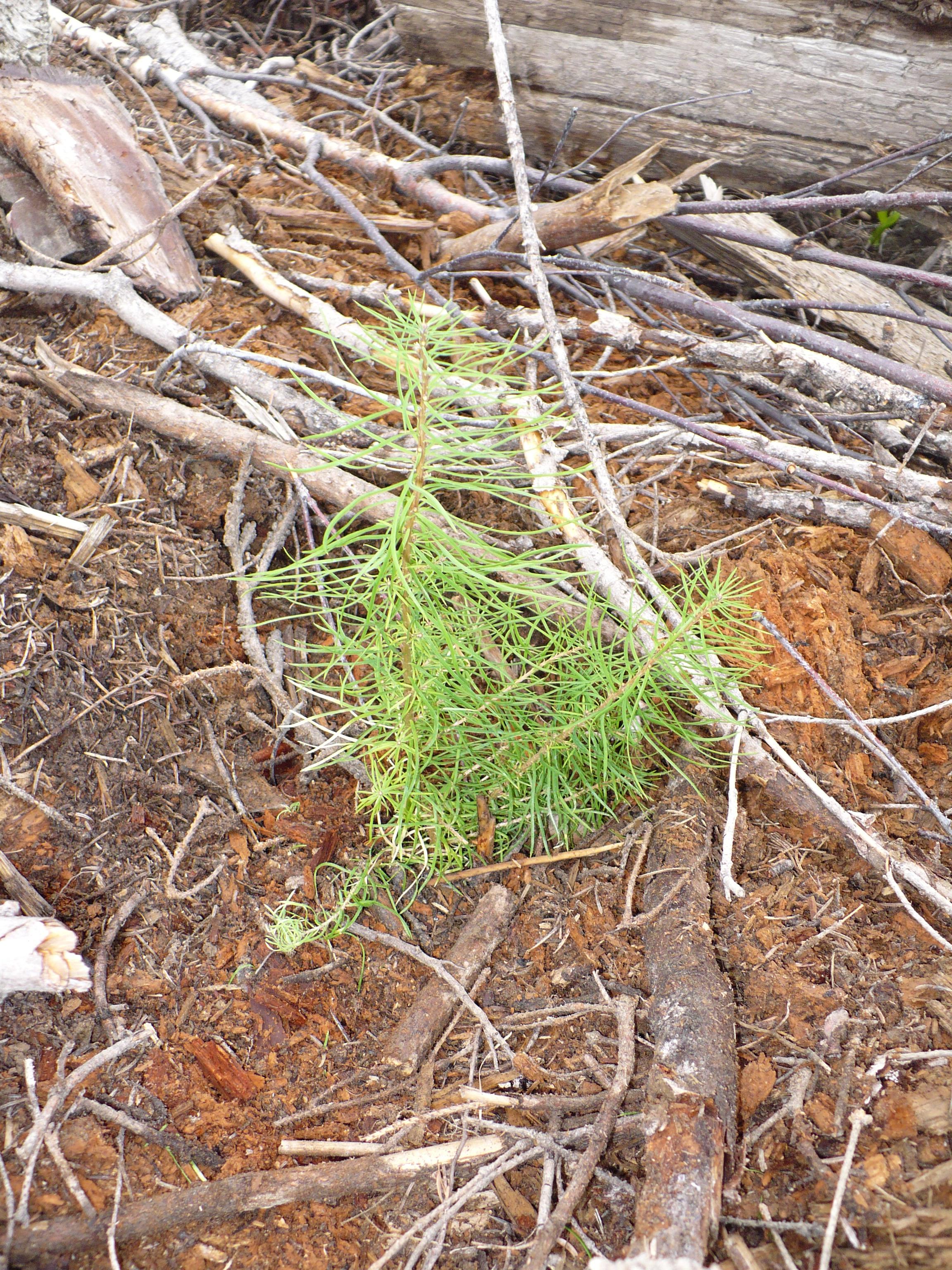 EFL_seedlings_June_2010_008