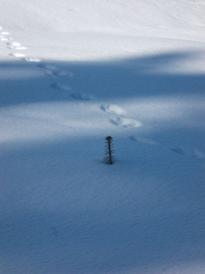 Sub-alpine Fir with wolf tracks