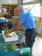 UNBC Greenhouse Curator, John Orlowsky, lifts and wraps larch seedling in preparation for transport to the field.
