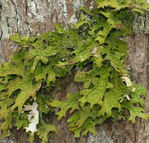 An example of Lobaria pulmonaria, a common cyanolichen found at Aleza Lake Research Forest.