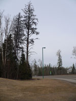 A dead pine next to the UNBC campus entrance