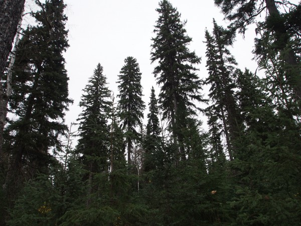 20 Year old Spruce  Shelterwood. Young Spruce trees in the foreground and mature overstory in the background