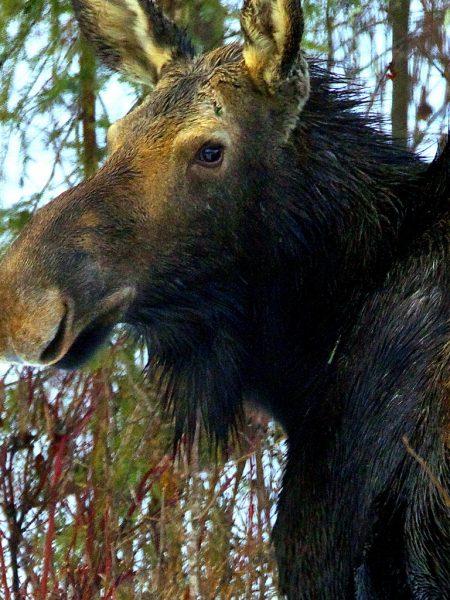 rrea_moose
